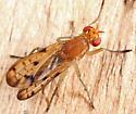 Marsh Fly - Tetanocera clara