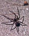 NC Spider ID? - Dolomedes tenebrosus