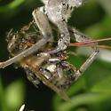 Milichiidae - Freeloader Flies - Desmometopa