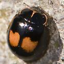 Cream-spotted Lady Beetle in New Brunswick - Calvia quatuordecimguttata