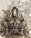 Moth resting during daylight - Ceratomia undulosa