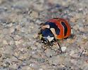 Three-banded Lady Beetle - Coccinella trifasciata