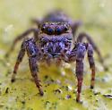 Jumping spider -- Phidippus