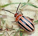 Chrysomelidae - Disonycha admirabila