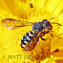 Small Wasp Like  Bee? - Dianthidium - female