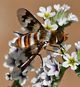 Exoprosopa fascipennis ? - Exoprosopa fascipennis