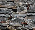 A Mexican Polyergus - Polyergus topoffi - female