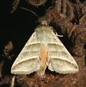 Heliothinae, Subflexus Straw Moth - Chloridea subflexa