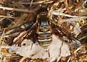 Orange County Bee Fly Archives - Exoprosopa doris