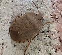pentatomidae sp - Menecles insertus