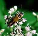 Pennsylvania Leatherwing Beetle - Chauliognathus pensylvanicus