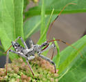 Immature Wheel Bug? - Arilus cristatus