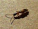 Beetle - Telephanus atricapillus