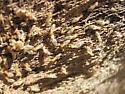 Mojave Desert termites - Gnathamitermes