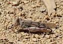 Hopper2 - Dissosteira pictipennis - female