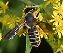 Female leafcutter bee - Megachile frugalis - female