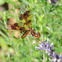 Eastern Amberwing female - Perithemis tenera