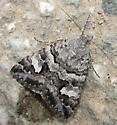 moth - Drasteria hudsonica