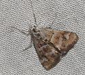 N. commorsalis - Nannobotys commortalis