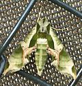 Pandora Sphinx - Eumorpha pandorus