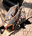 Eastern Boxelder Bug - Boisea trivittata - Boisea trivittata