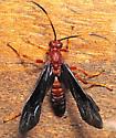 Wasp - Tmetogaster nubilipennis