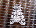 3/10/18 moth - Panthea furcilla