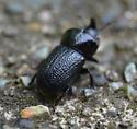 rhinoceros beetle - Sinodendron rugosum