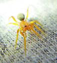 P rufus female - Prodidomus rufus - female