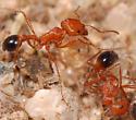More Mojave ants - Pogonomyrmex californicus - female