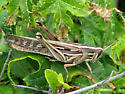 Florida Grasshopper - Schistocerca americana - female