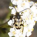 Cerambycidae - Judolia instabilis