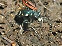 Boreal Long-lipped Tiger Beetle - Cicindela longilabris