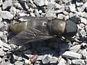 Horsefly - Tabanus atratus - male