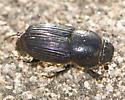 Aphodiine Dung Beetle? - Aphodius subterraneus