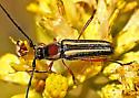 long-horned beetle - Sphaenothecus bilineatus