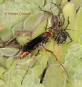 Spider Wasp - Tachypompilus ferrugineus