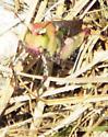 unknown grasshopper - Chortophaga viridifasciata