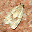 Silver and gold moth - Clepsis peritana