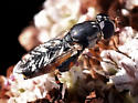 Syrphid Fly - Syritta pipiens - female