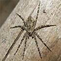 Spider 13 - Dolomedes albineus