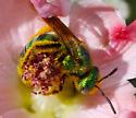 Halictidae 2 - Agapostemon