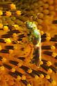 Agapostemon sp? - Agapostemon virescens