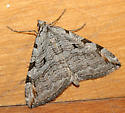 Moth in house - Aplocera plagiata