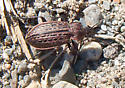 Large reddish coppery beetle - Carabus maeander