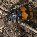 Sexton Beetle - Nicrophorus