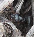 Ant - Formica argentea