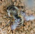 ground nesting bee - Osmia cornifrons