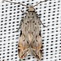 moth - Anacampsis argyrothamniella