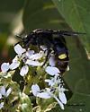 Blue-winged Wasp (Scolia dubia) - Scolia dubia